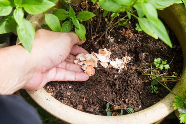 Яичная скорлупа является сокровищем для садового участка: способы ее применения