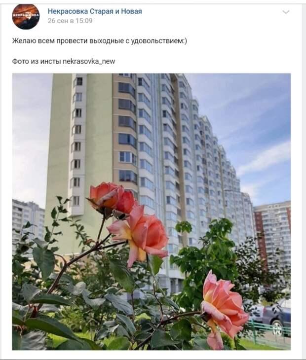 Фото дня: в Некрасовке отцветают розы