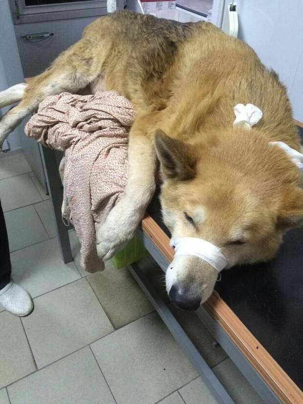 """Сейчас пес с трудом может передвигаться. Фото: страница Вконтакте """"БГООЗЖ """"Эгида""""."""