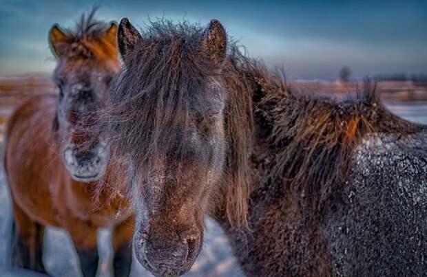 В краю, где зимний день длится всего 3 часа, а температура падает до -60° C, способен выжить лишь сильнейший Порода, животные, лошадь, россия, саха, фото, якут, якутия