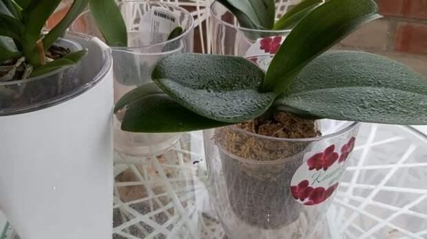 Таблетки из аптеки, которые спасут орхидеи от болезней