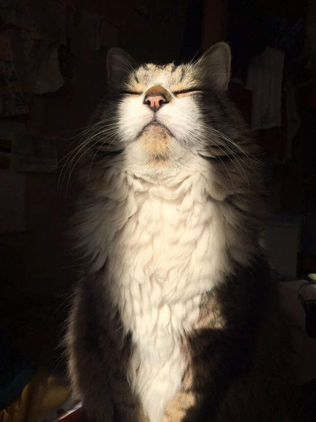 Поклоняется Солнцу животные, котики, лучи, погреться, солнечные ванны, солнце, температура, тепло