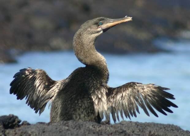 Одновременная линька маховых перьев облегчила птицам отказ от полета