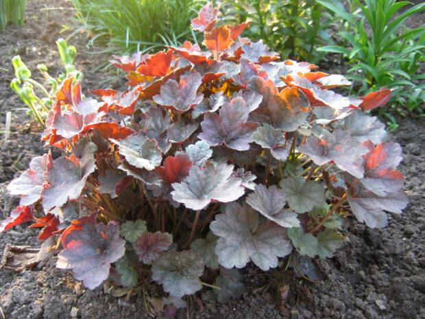 Многолетний садовый цветок Гейхера (Heuchera)