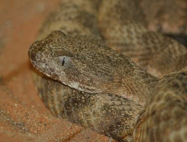 Яд гремучей змеи невероятно смертельен, но понимание его может спасти жизни !