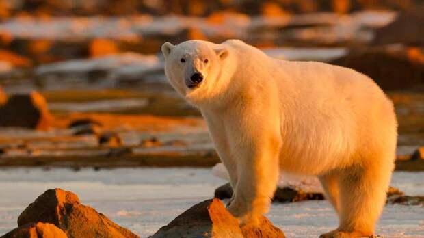 Белый медведь белый потому что живет среди снегов