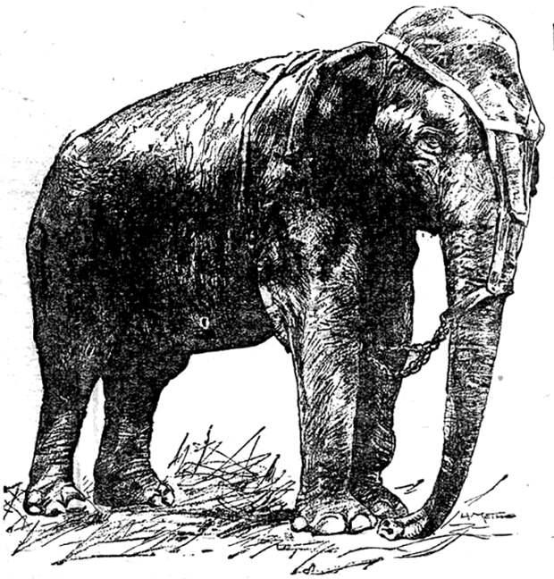 Слониха Топси. Иллюстрация.