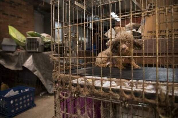 Знакомьтесь, это Биби, карликовый пудель. Спасатели из организации помощи животным нашли ее на фабрике по разведению собак до и после, доброта спасет мир, домашние животные, история собаки, пудель, собака, спасение животных, спасение собаки