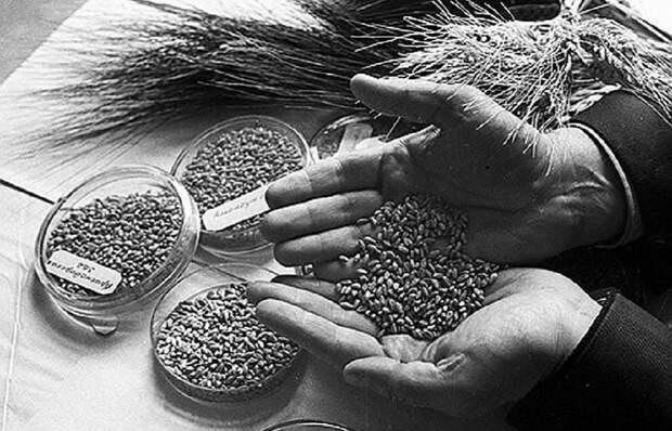 Подвиг во имя науки: как ученые ценой своей жизни спасли коллекцию семян во время блокады