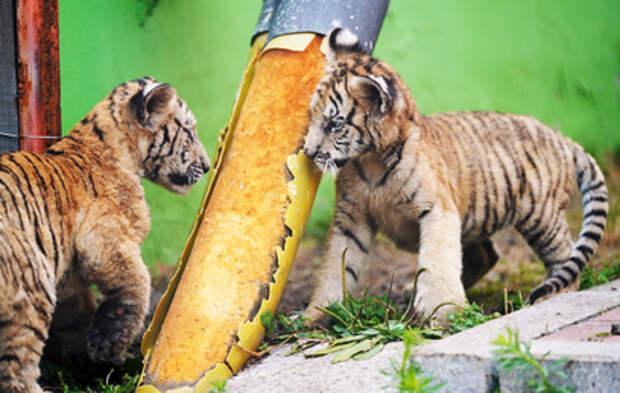 В Приморском сафари-парке родились два амурских тигренка