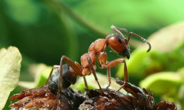 Ученые заявили о сватовских обычаях в муравьиных колониях