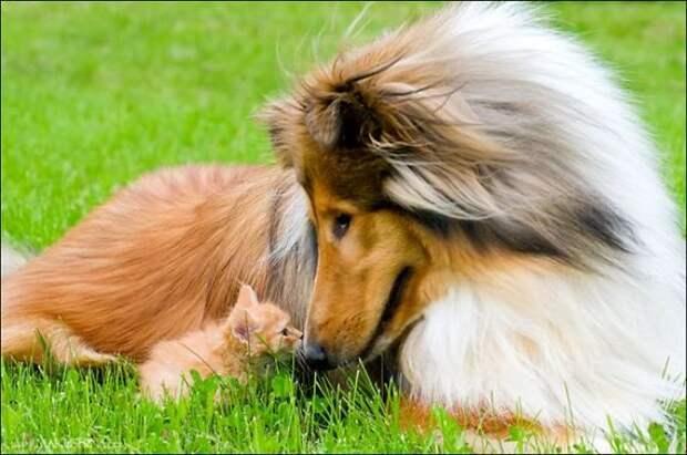 Котенок встретился с собакой (14 фото)