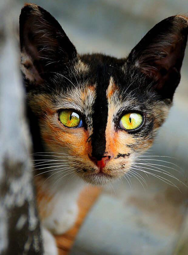 Черная кошка с рыжей мордочкой и черным носом.