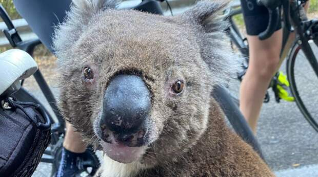 Унося лапы от пожара в Австралии, коала обессилела от жажды. Она решилась подойти к девушке, чтобы попросить у неё воды