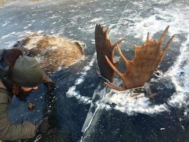 Житель Аляски нашёл двух лосей, зацепившихся рогами и вмёрзших в лёд животные, лед, лось