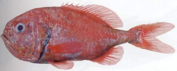 ФрешОптДон - Атлантический пилобрюх
