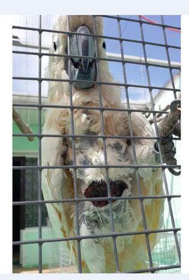В Новороссийске какаду бросили хозяева и он истязает сам себя