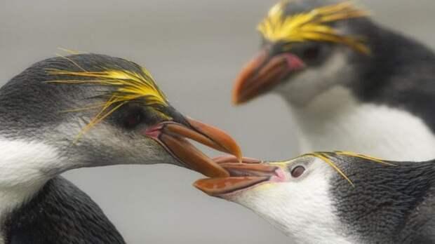 Пінгвіни Шлегеля