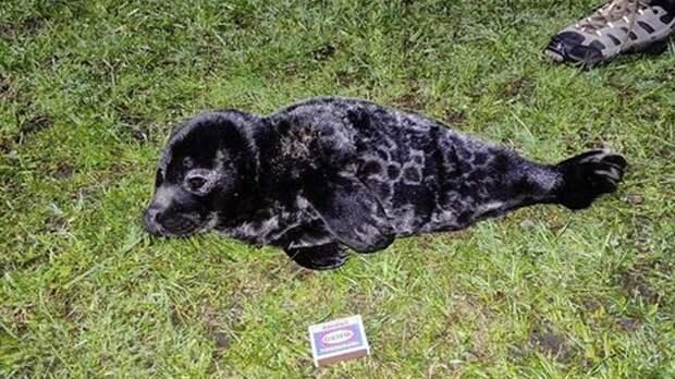 На берегу Ладожского озера петербуржцы нашли истощенного нерпенка