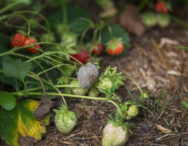Поврежденные серой гнилью ягоды земляники