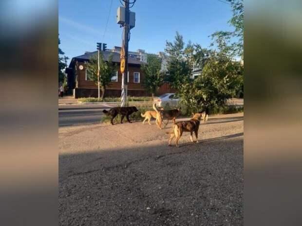 Стая бездомных собак разгуливала на перекрёстке в центре Читы