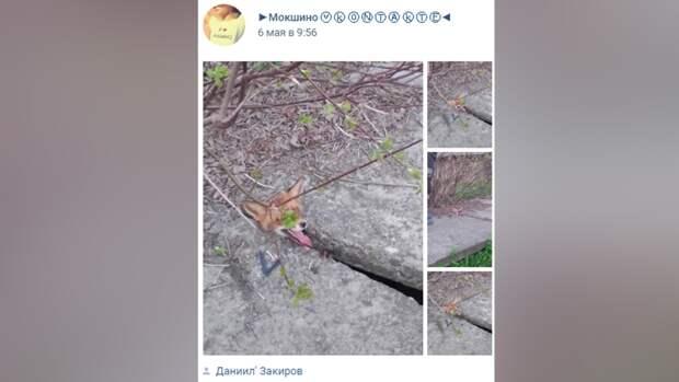Застрявшую между бетонными плитами лису спасли в Тверской области