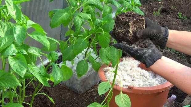 Секретная добавка в лунку, от которой перец даёт обильный урожай