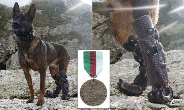 Овчарка с протезами лап получила медаль за отвагу — это ее история