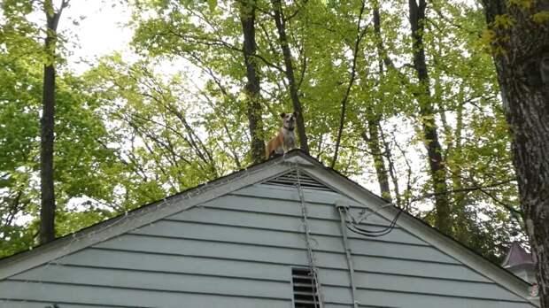 Видео: Собака забралась на крышу и чувствует себя отлично