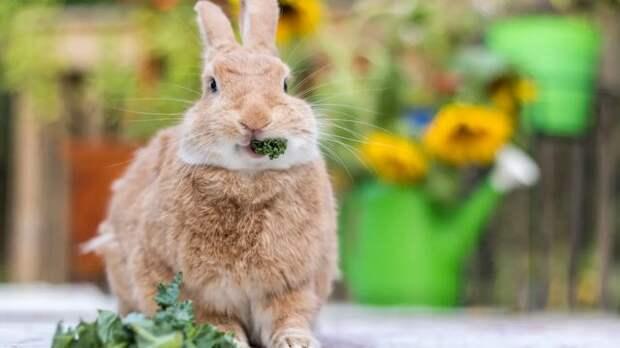 В дикой природе кролики едят свежие овощи, однако для домашних кроликов стало естественным питаться промышленными кормами