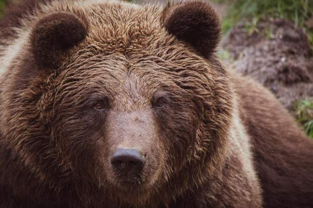 Находящиеся воткрытом вольере медведи насмерть загрызли мальчика вСочи