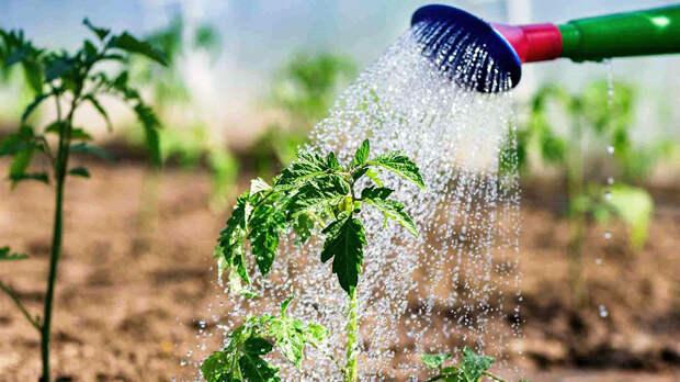 Спелые и вкусные: как поливать томаты, чтобы они хорошо росли