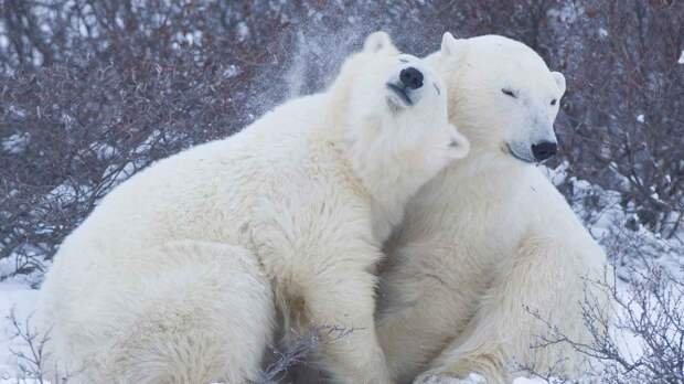 Популяция белого медведя