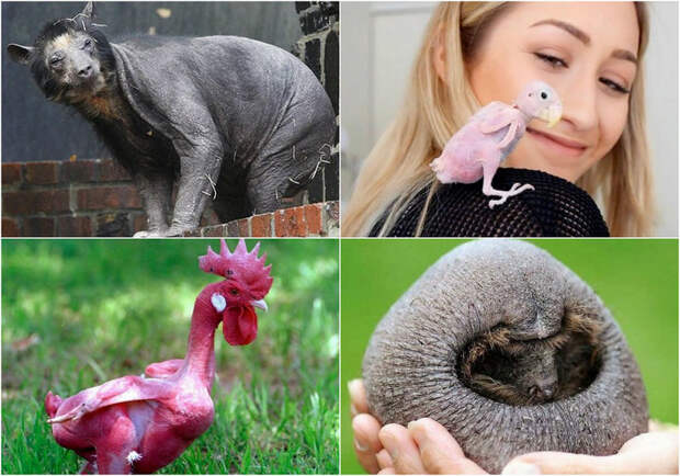 Удивительные лысые животные