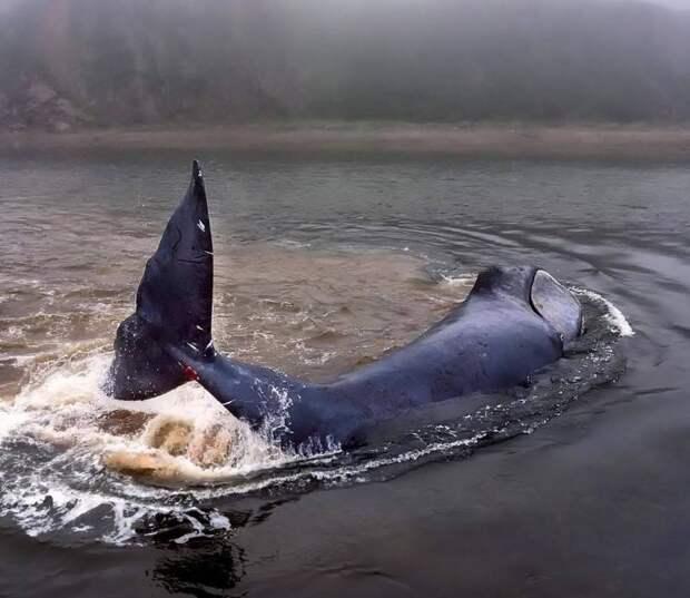 В Хабаровском крае спасли гренландского кита, застрявшего на мелководье