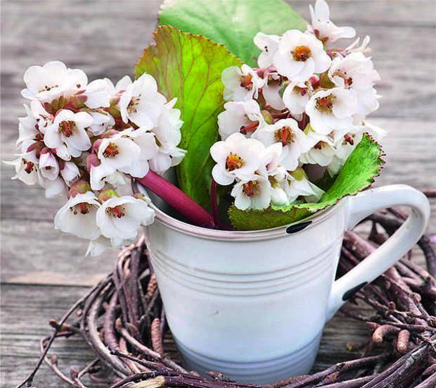 Весенний дар сада - высокие и мощные соцветия бадана - вполне годятся для срезки. Белые цветки SCHNEEKÖNIGIN, по мере того как они распускаются, приобретают нежно-розовый оттенок.