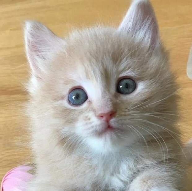 Молочный котенок
