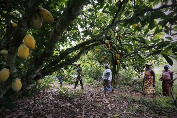Как женщины в Африке выращивают какао