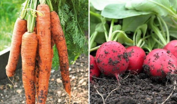 грядки на даче для моркови