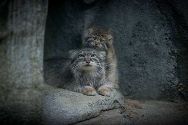 В зоопарке Огайо показали детеныша манула, родившегося в мае