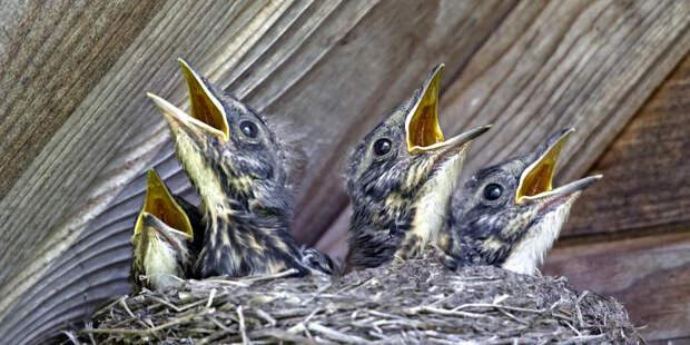 Орнитологи рассказали, как помочь выпавшим из гнезда птенцам
