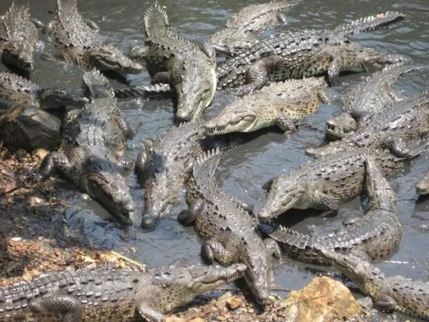 Нападение крокодилов на острове Рамри война, страшно, фото