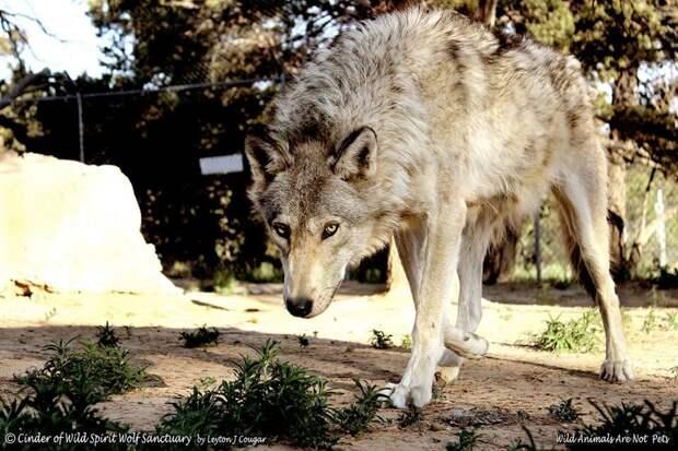 История о беспризорном метисе волка, который обрел подругу
