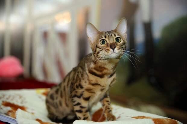 Мы решили узнать, какую функцию выполняют эти кармашки на ушах у кошек, и вот что нам удалось выяснить. животные, интересное, кошки