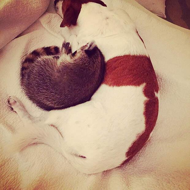 Этот енот вырос в семье с собаками, и теперь он считает себя тоже собакой