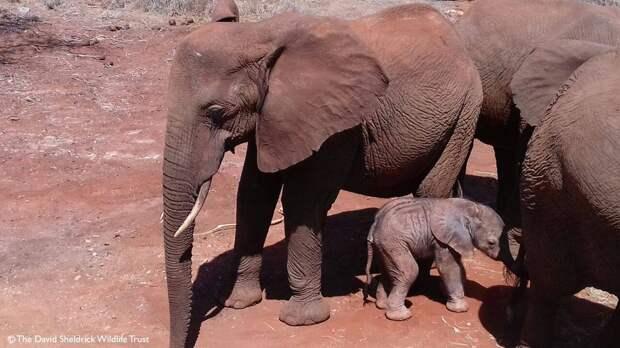 Крохотный слоненок был едва жив, когда спасатели нашли его...