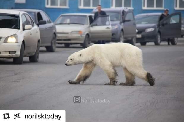 Запашный рассказал о судьбе истощенной медведицы, зашедшей в Норильск