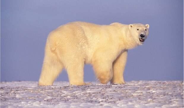 Ученые второй год подряд поедут в Арктику для изучения белых медведей