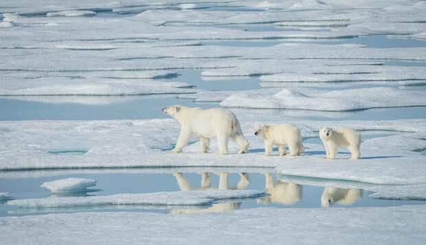 Медвежонок белого медведя живет с мамой до 1,5 лет