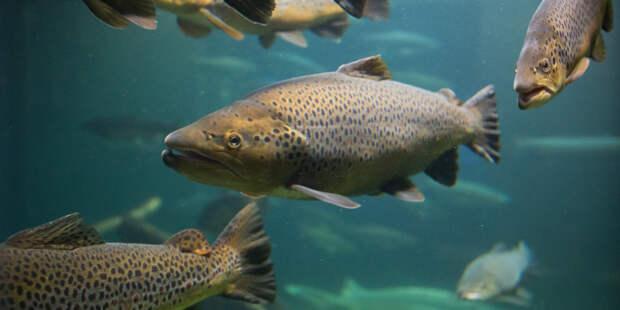 Лекарство от деменции сделают из лосося